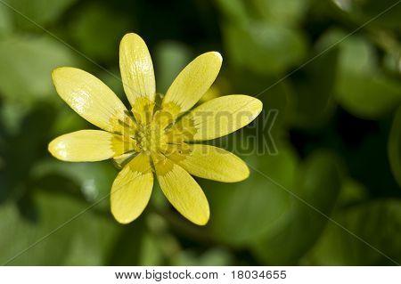 Yellow Camomile