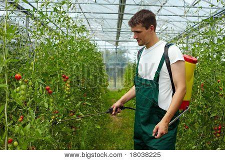 Farmer Manuring Tomato Plants