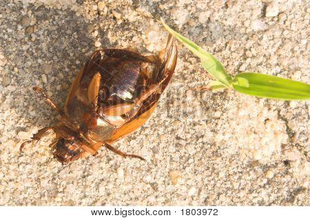 Dead June Bug