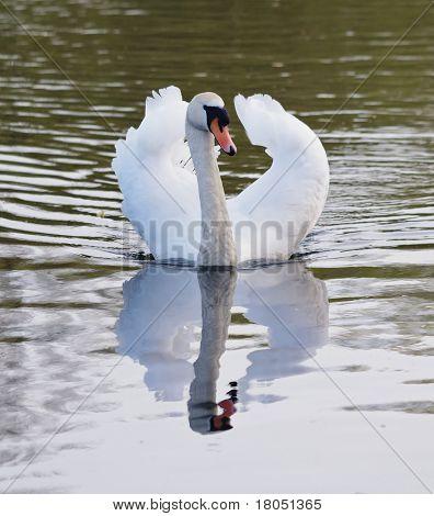 Dominant Male Mute Swan