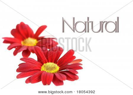 Background with word Nature and two red crysanthemum on white, room for text