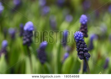 Low angle shot of the grape hyacinth of purple and blue showing shallow depth of field