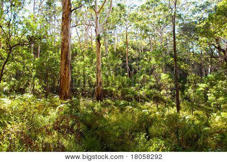 Forest full of famous Australian Karri Trees  Western Australia