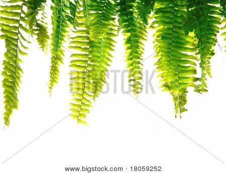 Healthy green fern fronds isolated.