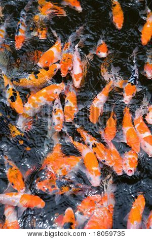 School of beautiful ornamental koi carps in feeding frenzy.