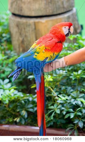 The Scarlet Macaw (Ara macao) is a large red parrot with blue and yellow colored wings
