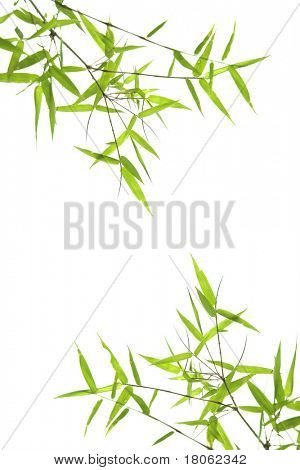 Japanese dwarf bamboo leaves isolated on white