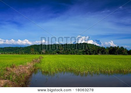 Sprawling golden field of padi behind wooden fence with Mount Kinabalu covered in fluffy cloud in the horizon.