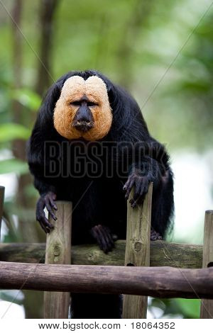 White-faced Saki Monkey or Golden Face Saki in a zoo enclosure resting on wooden fence