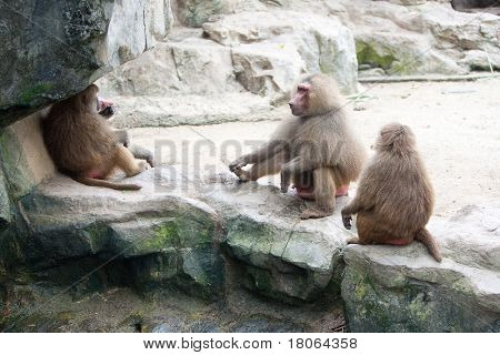 Family of baboon in a zoo enclosure taking a rest from the heat