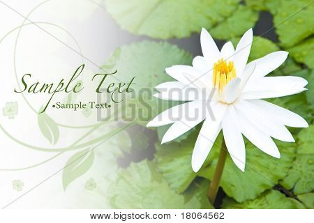 Background of beautiful white water lily and bright green leaves