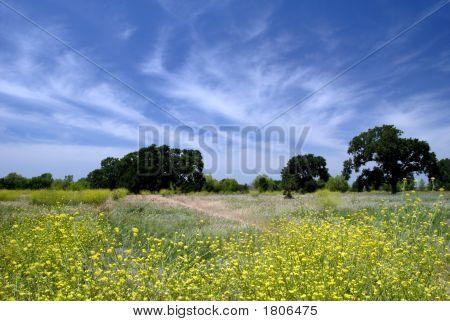 Wild Mustard Under White Clouds