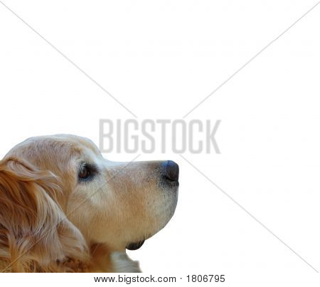 Loyal Golden Retriever Isolated