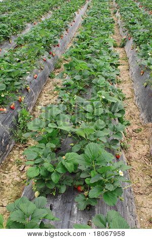 strawberry farm