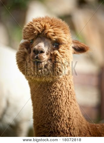 Fluffy brown Alpaka