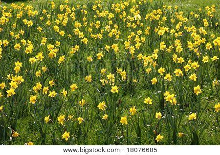 100 daffodils