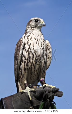 Hawk Regal Bird