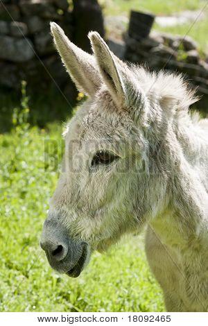 Smilling Donkey