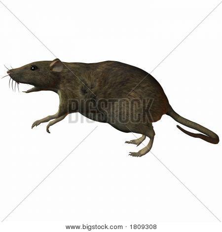 Rat Leap
