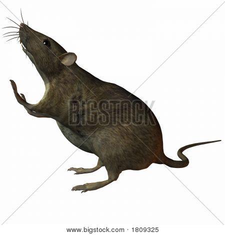 Rat Steps