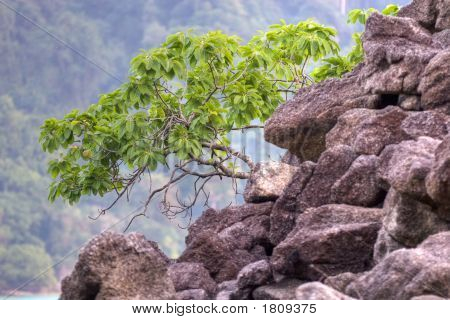 Mangrove Tree On Crumbling Rocks