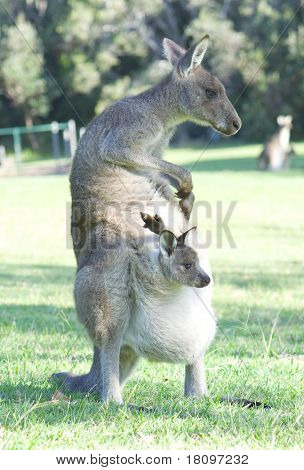 Kangaroo with Joey in Pouch Scratching Herself