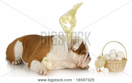 easter dog - english bulldog bunny with chicks and basket on white background