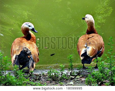 Beautiful Mandarina Ducks