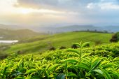 Closeup View Of Tea Leaves At Tea Plantation At Sunset poster