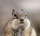 foto of full cheeks  - Golden - JPG