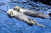 Cute See Otter poster