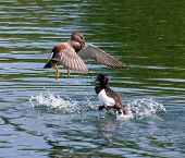 foto of gadwall  - A Gadwall and a Tufted Duck fighting - JPG