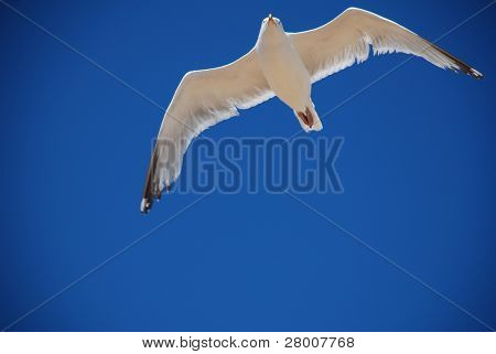 A seagull in flight at Folkestone in Kent, England.