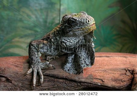 Portrait of iguana in the Novosibirsk Zoo