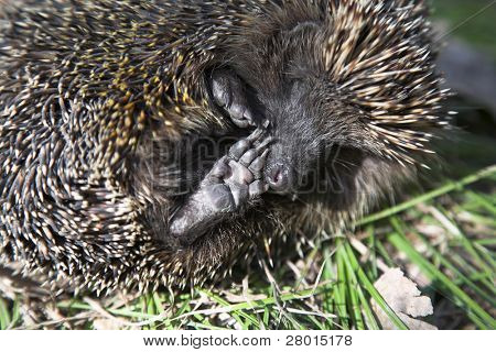 little animal - hedgehog in the spring forest