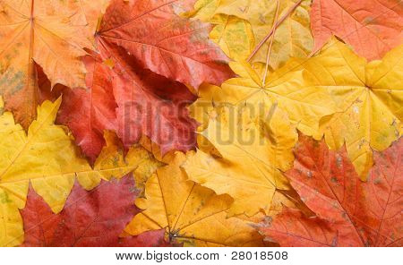 Autunm colored leaves background. Maple leaves