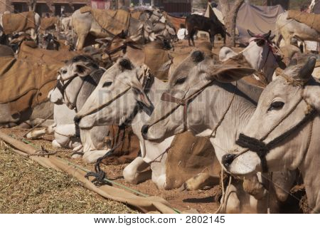 Indian Cattle Fair