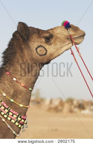 Indian Camel Fair