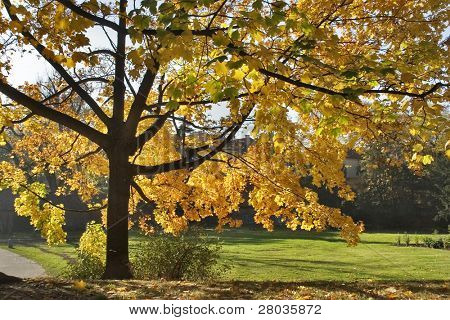 The big tree with yellow autumn leaves on a background of the dark blue sky