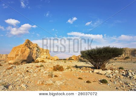 Desert, stones and the trees blossoming in droughty places