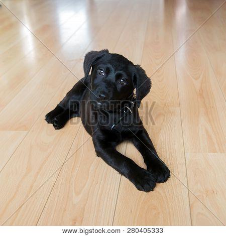 poster of Cute Little Black Labrador Retriever Dog.