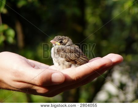 Human Holding Small Nestling Of Sparrow