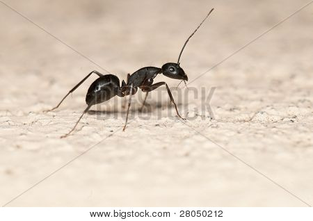Carpenter ant isolated on white background. This ant is a major pest on houses