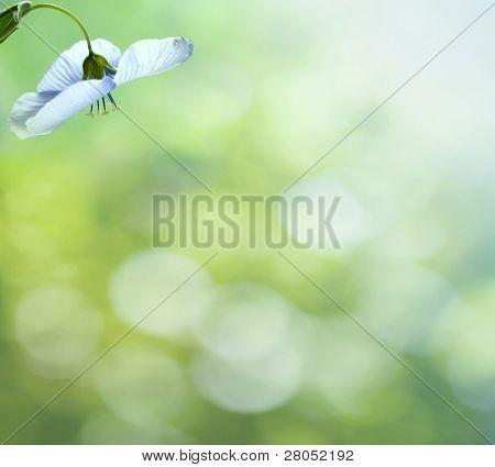 Wild Western Blue Flax flowers or Linum lewisii