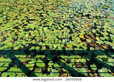 beaver marsh boardwalk shadow and lily pads