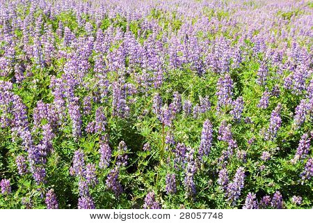 purple flowers in a green field