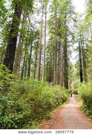 trail through redwood forest