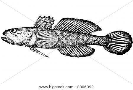 Fish Gobius Gumnotrachelus (Latin). Illustration.