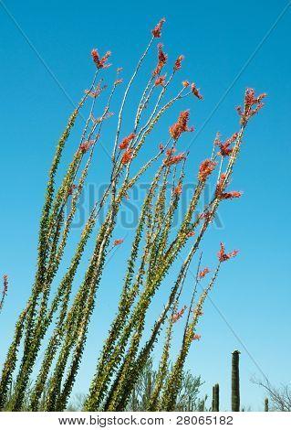 flor cacto ocotillo