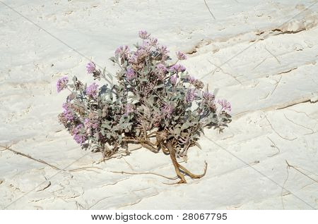 purple desert flowers on a salt playa